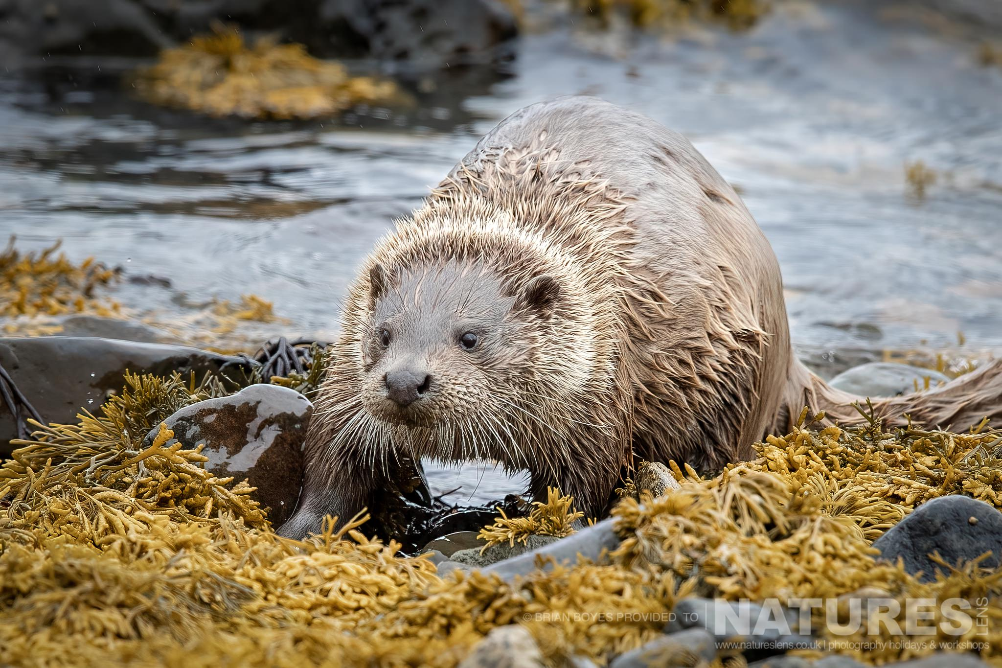 One of Mulls Eurasian Otters amongst the kelp as can be photographed during the NaturesLens WIldlife of Mull Photography Holiday