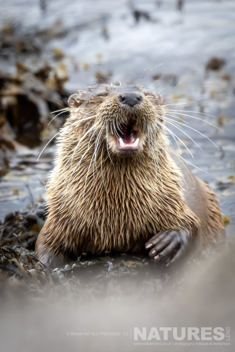 One of Mulls Eurasian Otters as can be photographed during the NaturesLens WIldlife of Mull Photography Holiday
