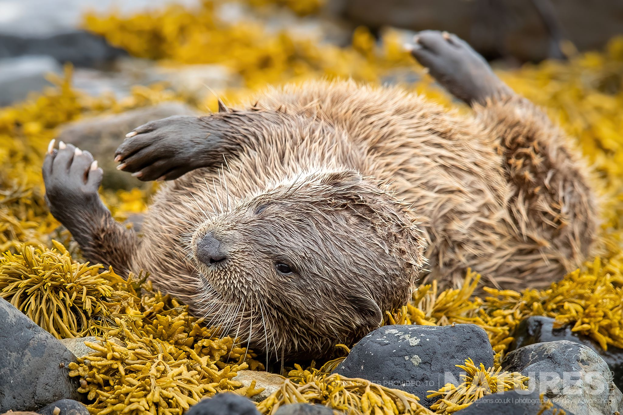 One of Mulls Eurasian Otters rolls in the kelp as can be photographed during the NaturesLens WIldlife of Mull Photography Holiday