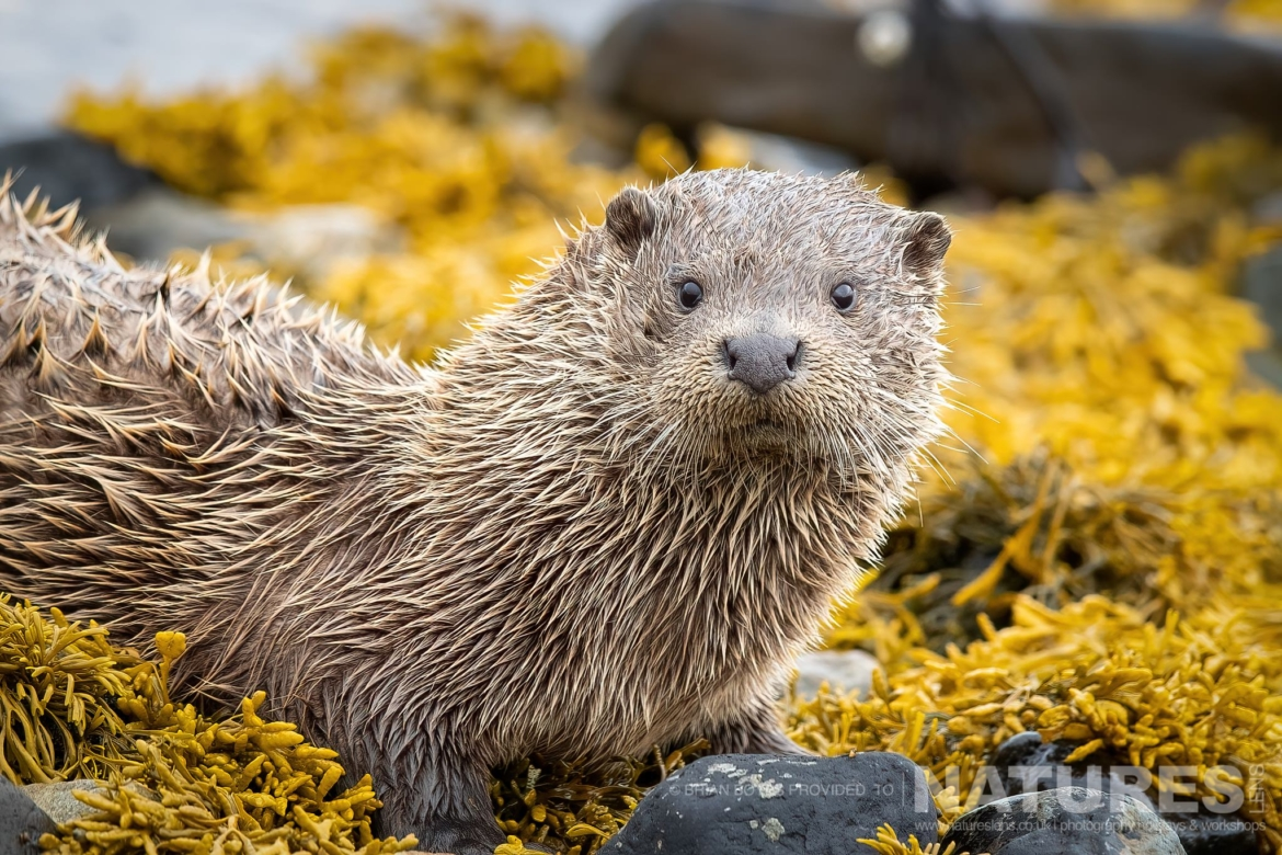 One of Mulls Eurasian Otters stares directly at the photographer as can be photographed during the NaturesLens WIldlife of Mull Photography Holiday