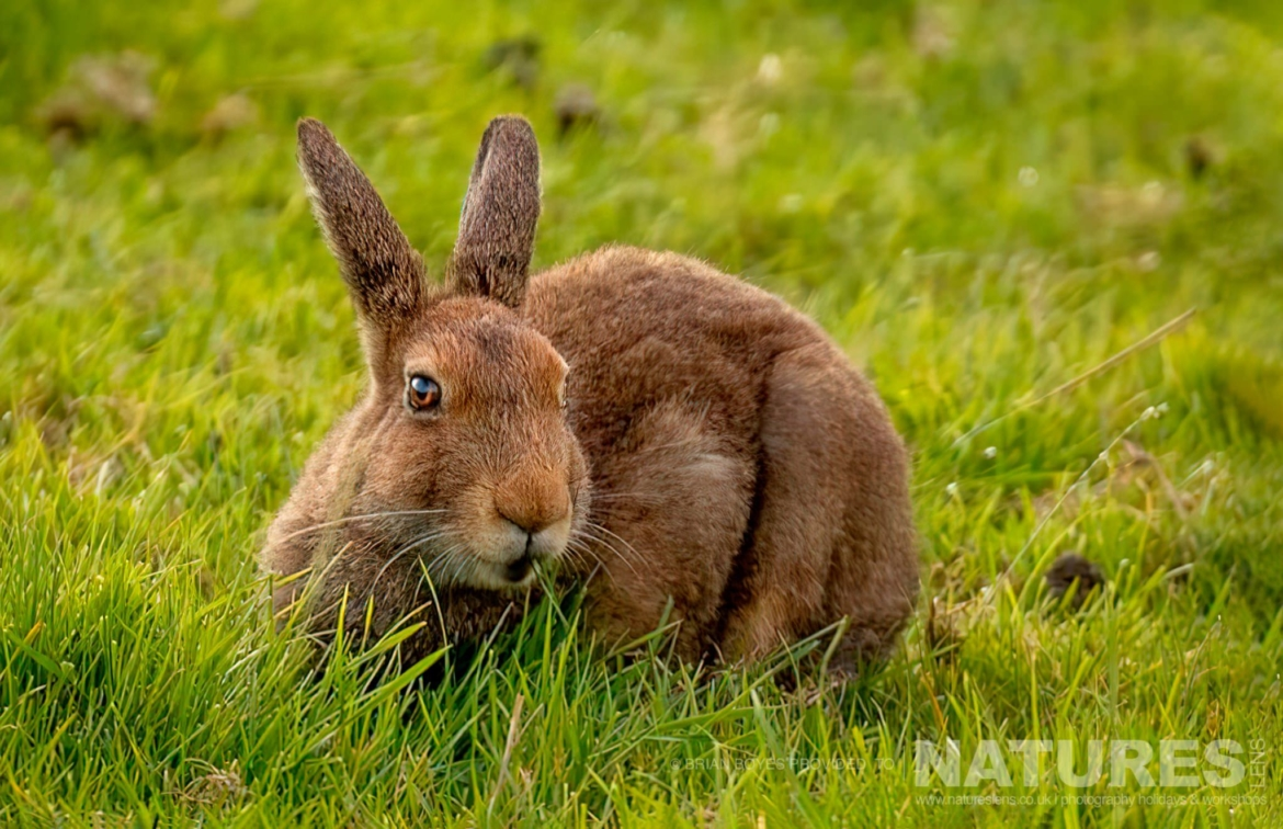 One of Mulls Mountain Hares as can be photographed during the NaturesLens WIldlife of Mull Photography Holiday