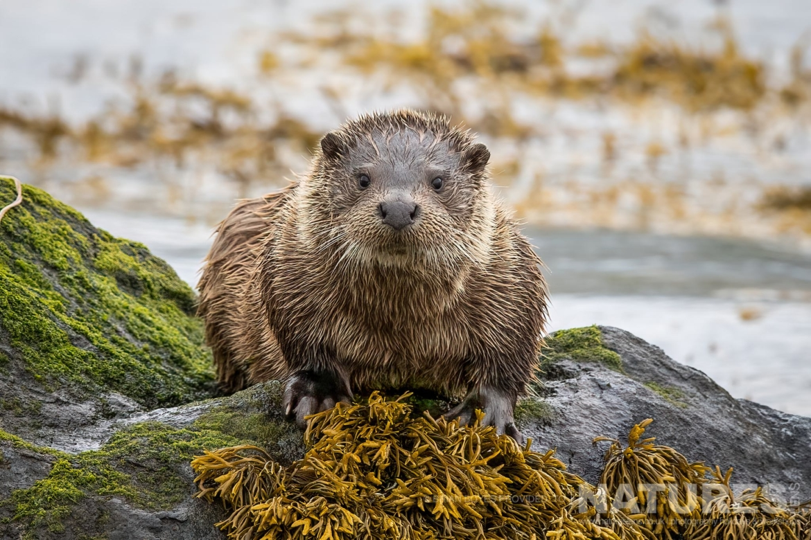 One of Mulls fabulous Eurasian Otters as can be photographed during the NaturesLens WIldlife of Mull Photography Holiday