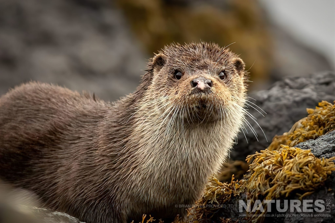 One of Mulls fabulous otters as can be photographed during the NaturesLens WIldlife of Mull Photography Holiday