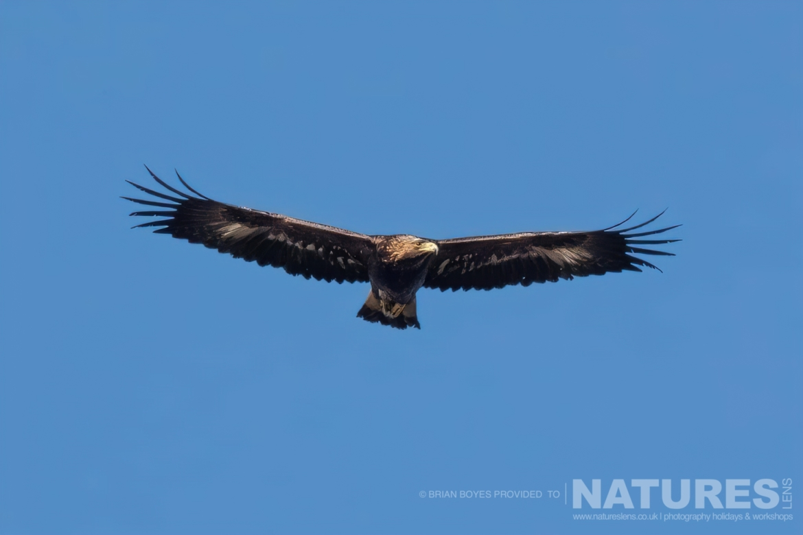 One of Mulls splendid Golden Eagles as can be photographed during the NaturesLens WIldlife of Mull Photography Holiday
