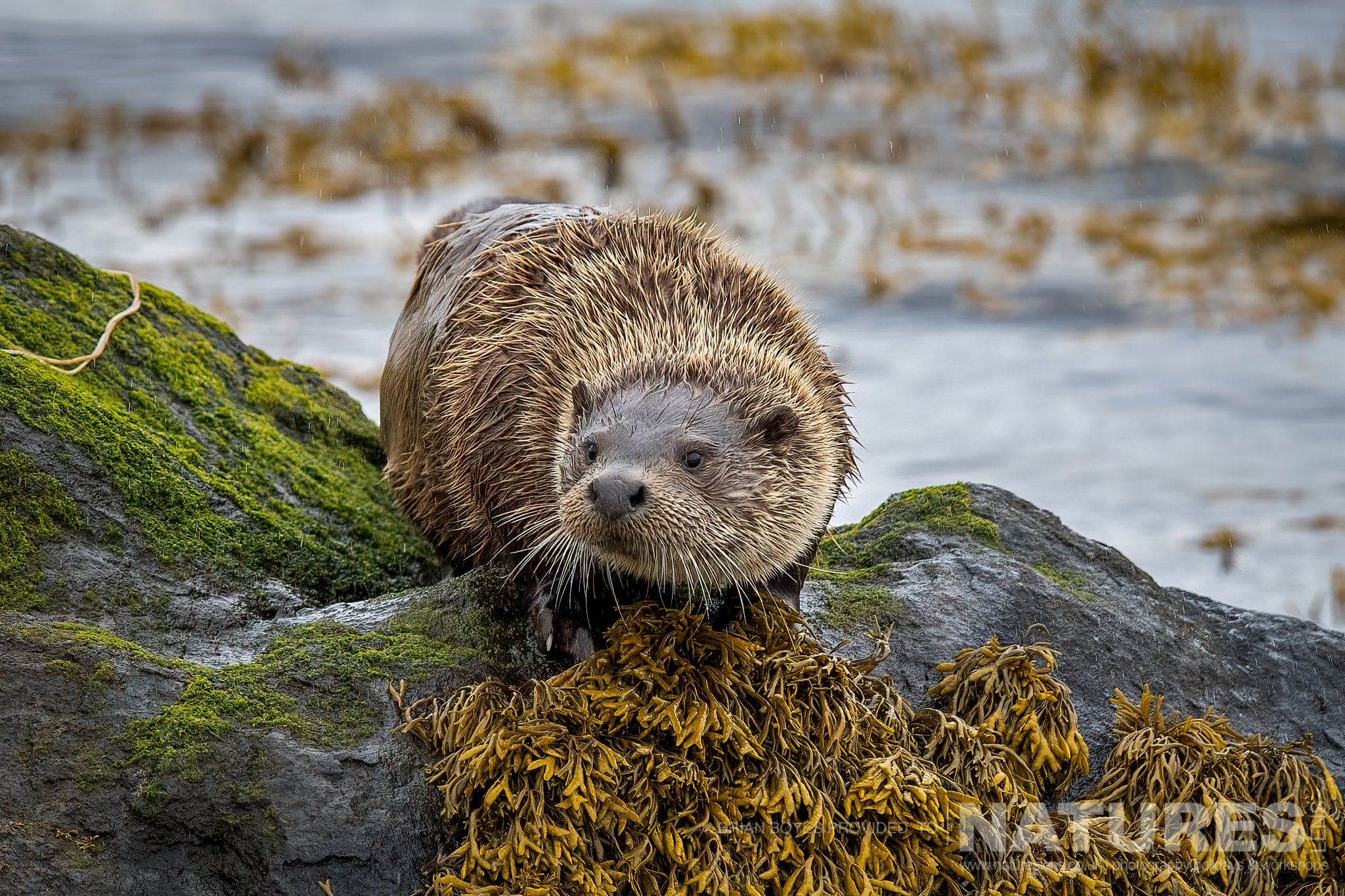 One of the Eurasian Otters found on Mull as can be photographed during the NaturesLens WIldlife of Mull Photography Holiday