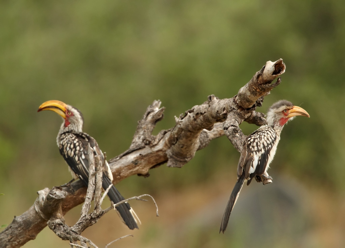 A pair of Yellow billed Hornbill perched on a branch the type of image that you will be able to capture during the NaturesLens Africas Big Five of the Timbavati Photography Holiday