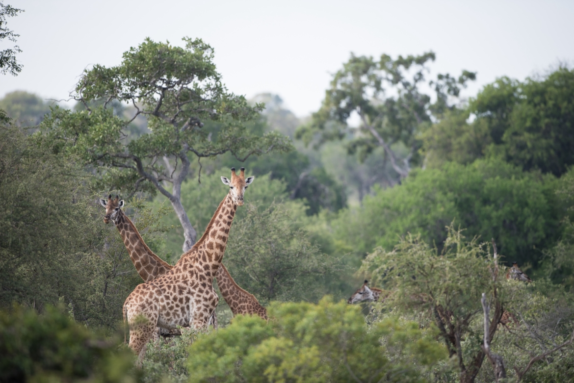 A pair of giraffe within the Timbavati Reserve the type of image that you will be able to capture during the NaturesLens Africas Big Five of the Timbavati Photography Holiday