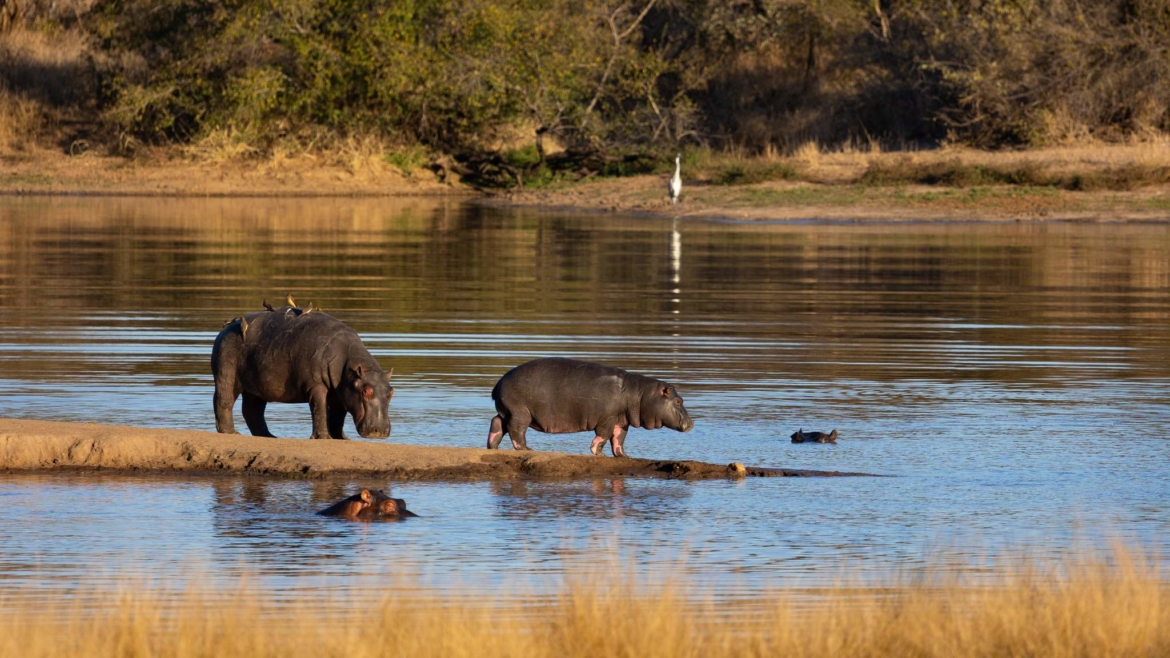 A trio of hippos by a waterhole within the Timbavati Reserve the type of image that you will be able to capture during the NaturesLens Africas Big Five of the Timbavati Photography Holiday